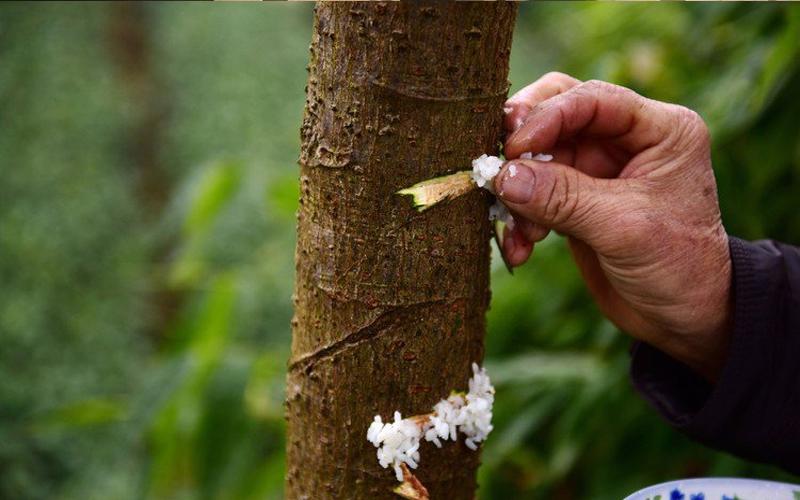 男子把樹割開再「把白米飯黏上去」.... 好奇一問之下  他居然是在「餵樹吃飯」